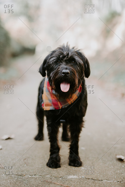 Hairy dog in red neckerchief standing with tongue out and resting in the middle of the road on daytime