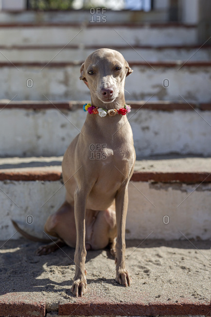 Funny little dog in colorful collar sitting on shabby stairs in sunlight