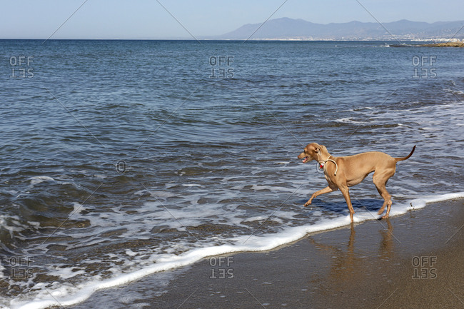 Friendly little dog in collar running among waves of seashore in sunny day