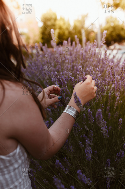 Crop unrecognizable long haired woman touching lavender flowers in a meadow