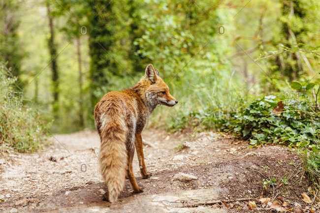 Fox walking through the woods freely