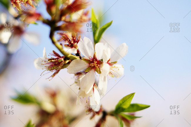 Closeup wooden almond tree twig with pink blooms in garden on hills on blurred blue sky background