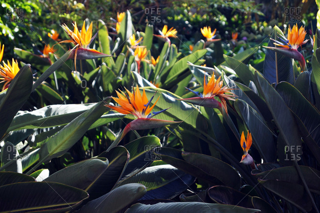 Beautiful bird of paradise flowers with lush green leaves growing on flowerbed on sunny spring day in tropical garden