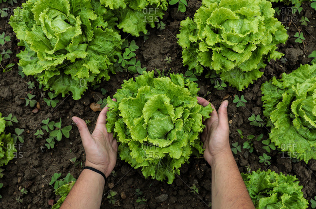 From above big green lettuce in hands on loose soft earth in garden
