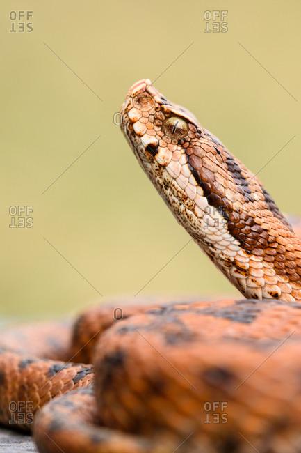 Python snake curled on ground