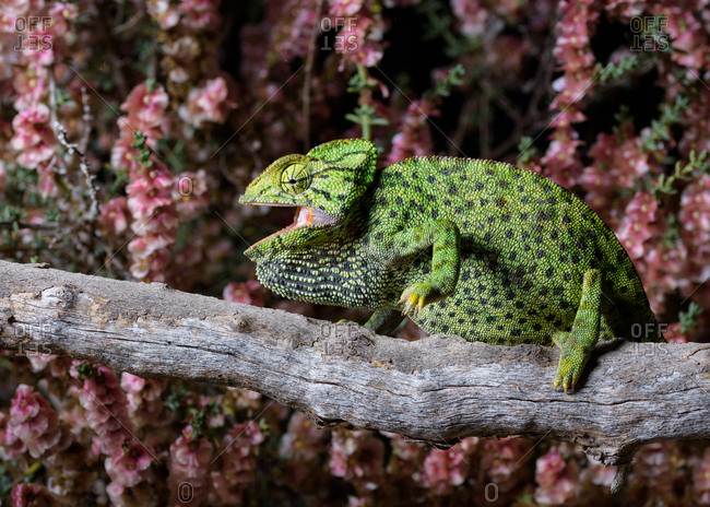 Side view of green spotted lizard resting on tree with beautiful pink flowers behind