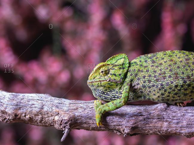 Chameleon sitting on branch - Offset