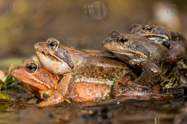 Stacked frogs in water