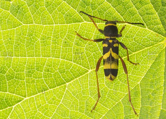 Closeup four-banded longhorn beetle with black and yellow spots sitting on green leaf