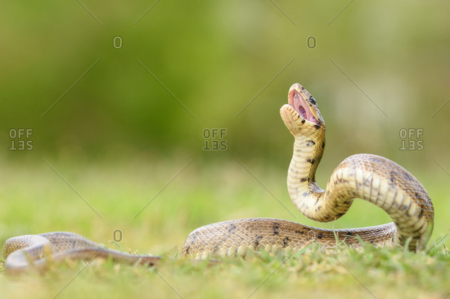 Python snake curled on ground