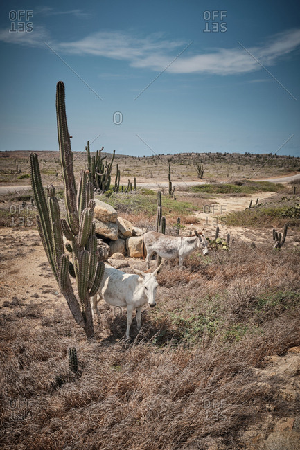 White donkeys grazing in desert with cacti