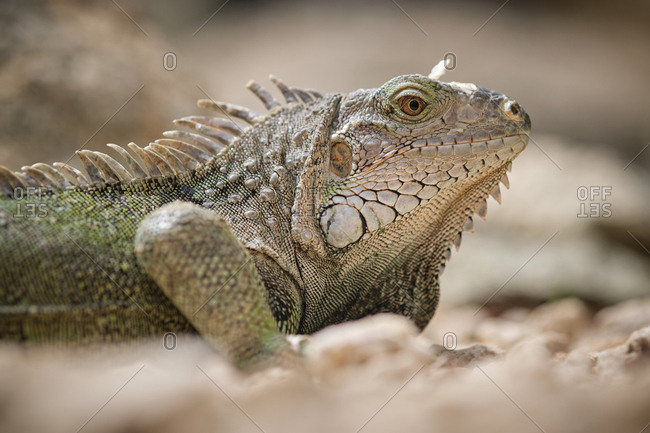 Closeup green iguana lying on rough stony ground on blurred background of nature