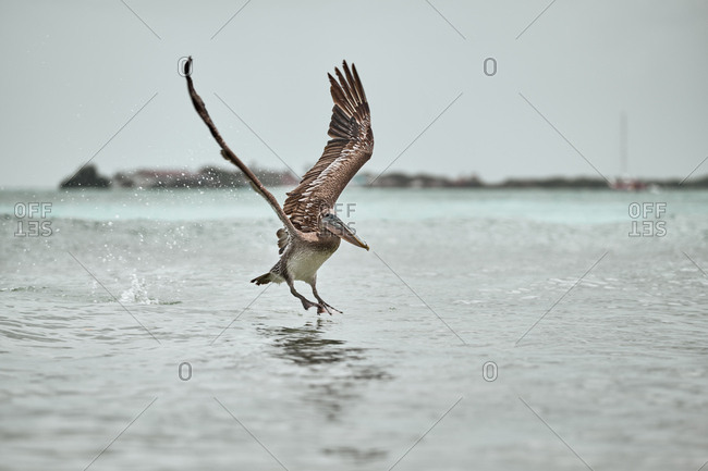 Huge gray pelican soaring over waving surface of sea water on dull day in nature