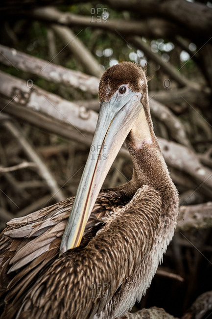 Gray pelican preening wing feathers while sitting on rough tree branches in nature