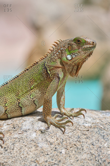 Closeup green iguana lying on rocky ground and water in nature