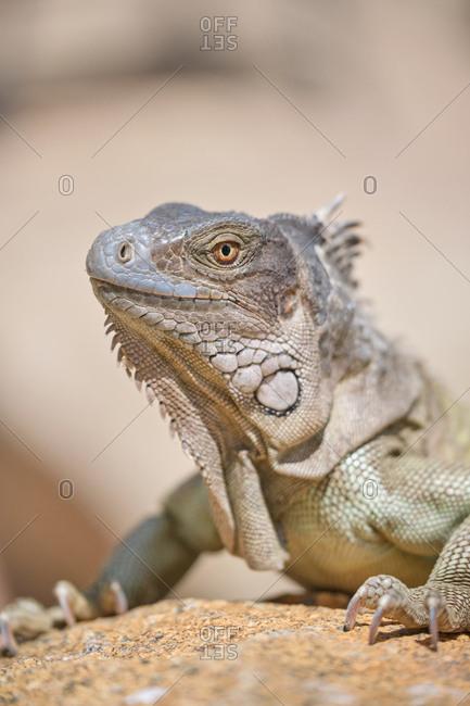 Closeup green iguana lying on rocky ground