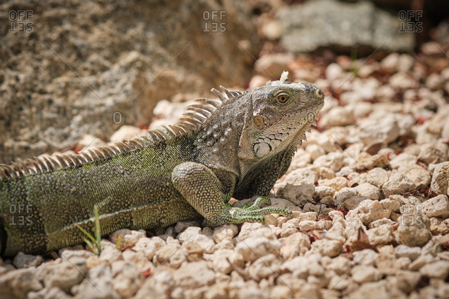 Closeup green iguana lying on rocky ground in nature