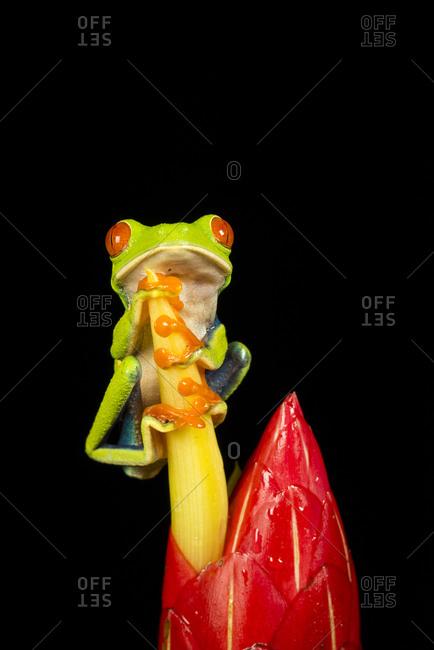 Tropical Red-eyed Tree Frog (Agalychnis callidryas)