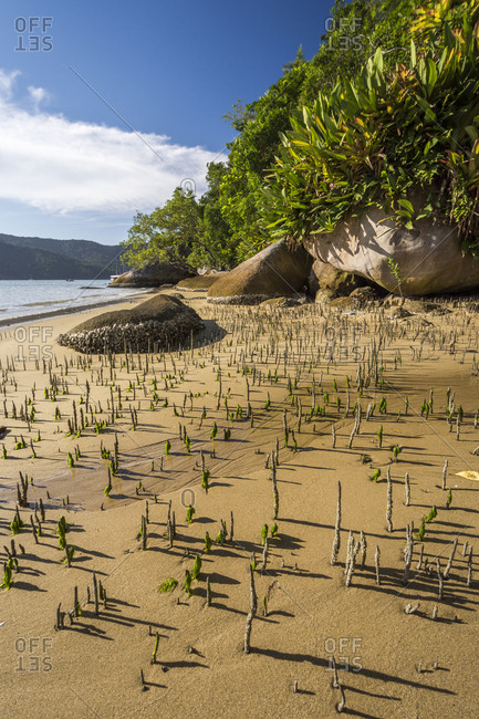 Young mangrove vegetation growing on beach in Saco do Mamangua, Paraty, Costa Verde, Brazil