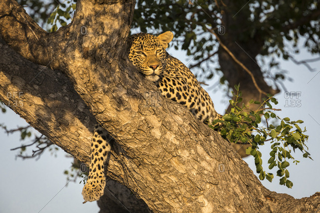 Female leopard (Panthera pardus) high in tree in Sabi Sands Game Reserve, Mpumalanga, South Africa