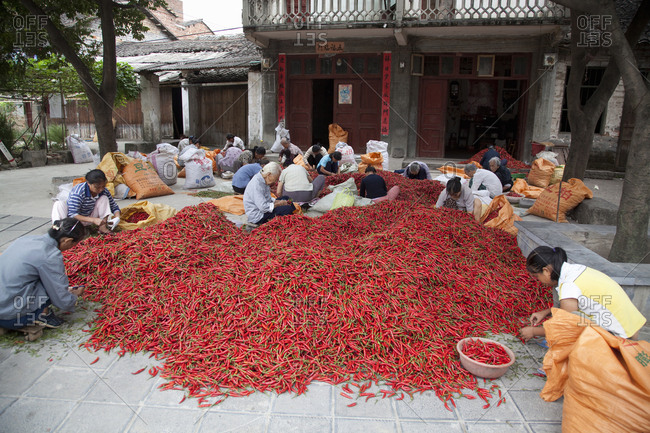 Guilin, China - September 28, 2009: Female farmers sorting red peppers in village outside Guilin