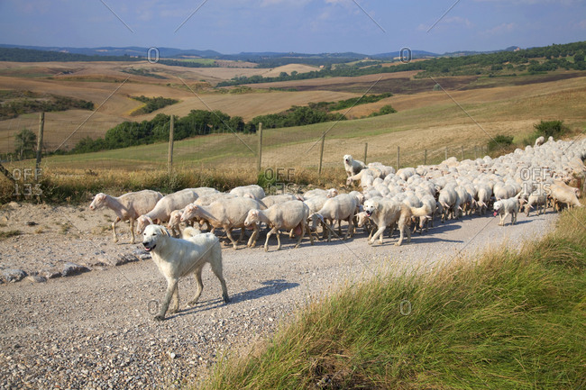 Sheep dogs guiding sheep on farming road, Siena, Tuscany, Italy