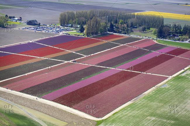 Tulip fields in Seattle, Washington