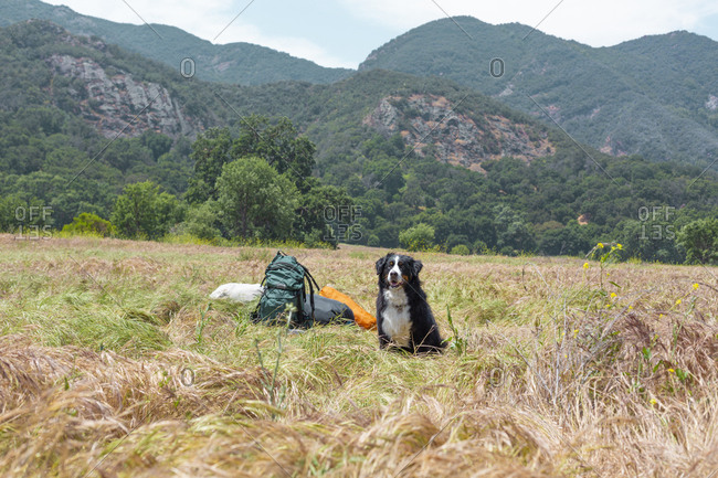 Bernese Mountain Dog sitting by backpacks on grass against mountains