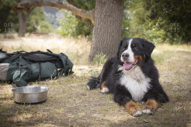 Bernese Mountain Dog sitting by bowl on grass