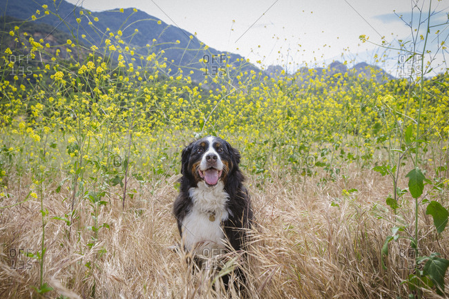 Portrait of Bernese Mountain Dog sitting on grass