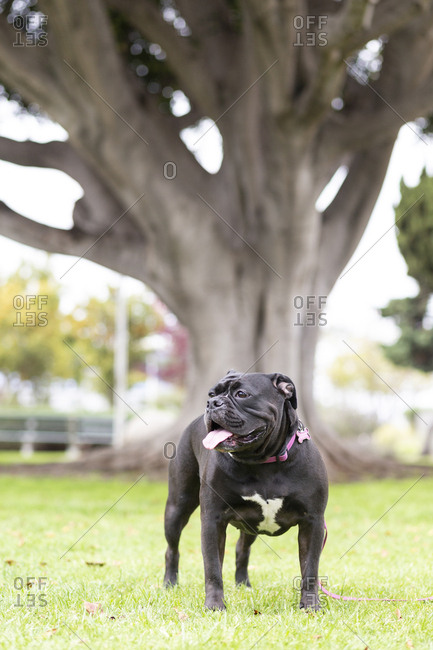 Black Bulldog on grass against tree at park