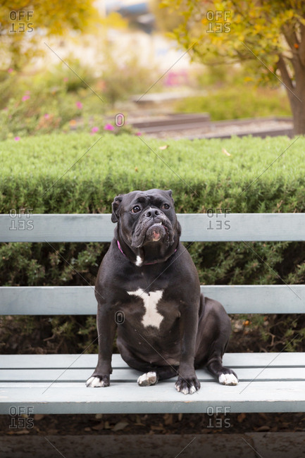 Black Bulldog sitting on bench at park