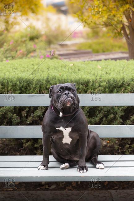 Black Bulldog sitting on bench at park