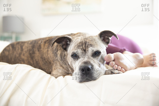 Portrait of dog relaxing by woman sleeping on bed at home