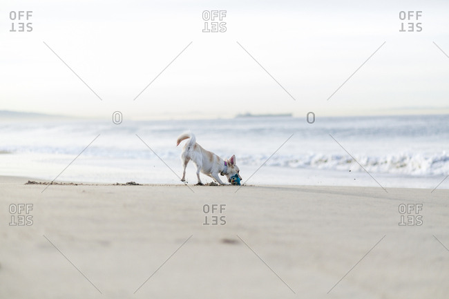 Dog playing with toy on shore at beach