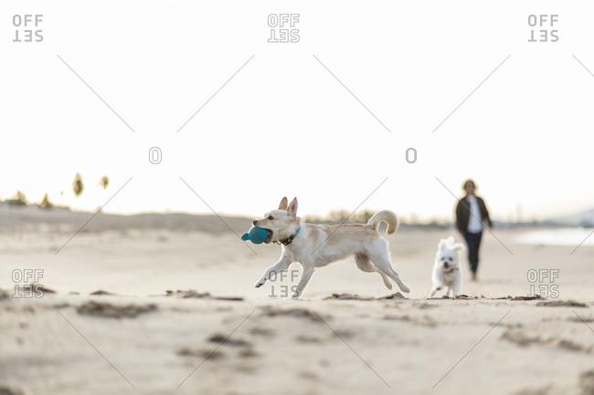 Dog running with toy on sand at beach