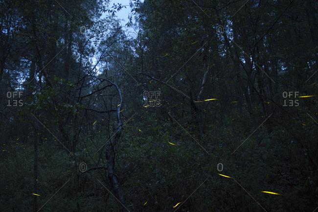 Fireflies in Santa Clara, Nanacamilpa, Tlaxcala, Mexico
