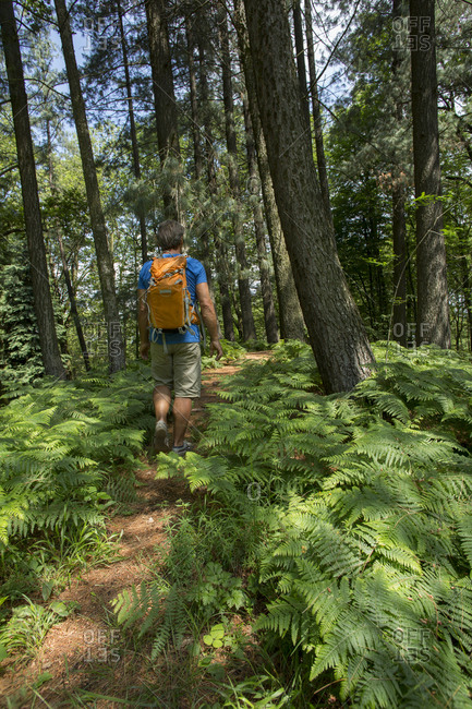 Male hiker follows trail through forest, ferns