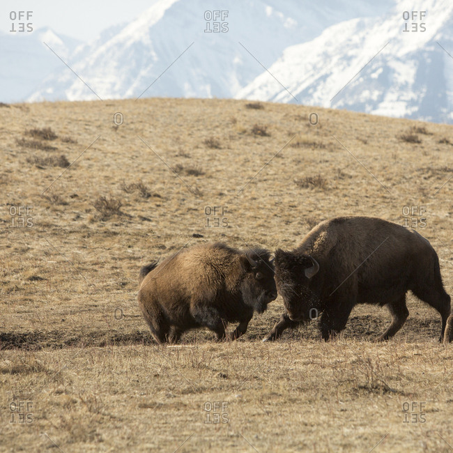 American bison (buffalo) engage in sparring behavior