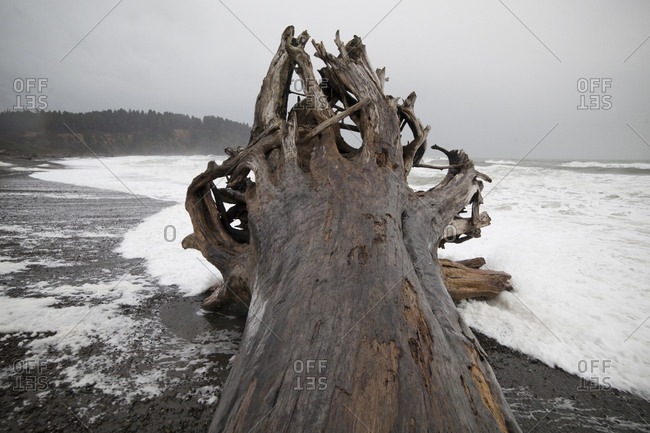 A giant tree, come ashore as driftwood, on First Beach near La Push, Olympic Peninsula, Washington.