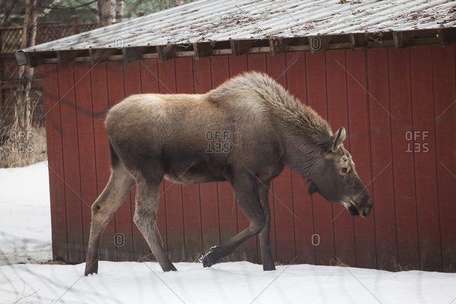 A young moose (Alces alces) wanders past a barn on a farm in Chugiak, Alaska.