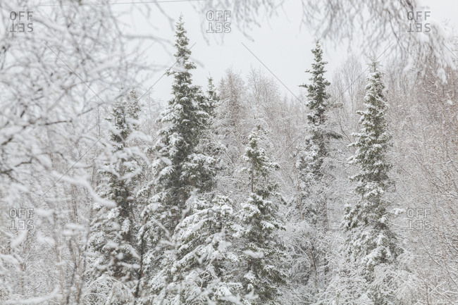 Mixed conifer and birch tree (Betula sp.) forest in winter in Chugiak, Alaska.