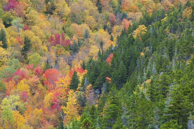 Forest with autumn foliage from upper Inlook Trail, White Mountain National Forest, New Hampshire.