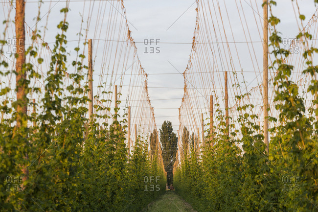 Rows of hop plants on a farm in Grandview, Washington.