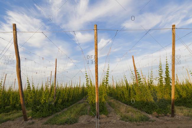 Hop plants growing in rows on a farm in Grandview, Washington.
