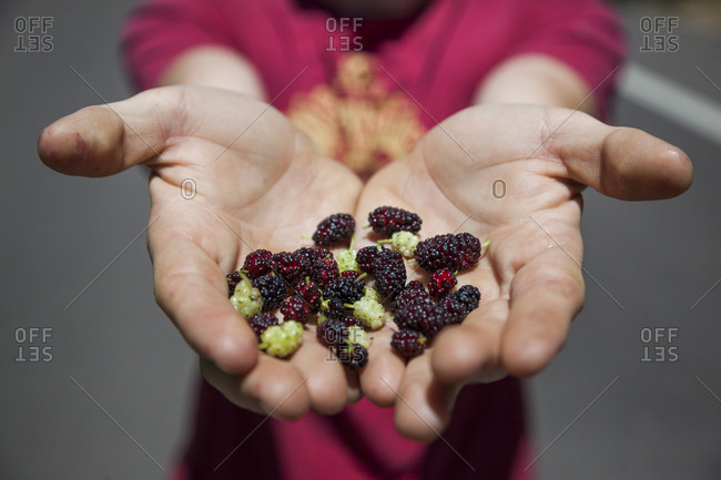 A man holds up mulberries (Morus sp.) he harvested in Boulder, Colorado.