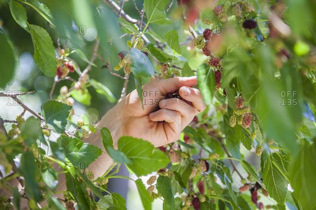 A man picks mulberries (Morus sp.) in Boulder, Colorado.