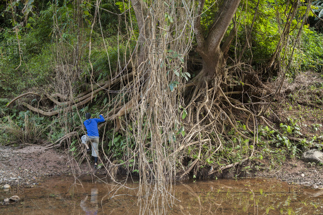 Man climbing roots of tree on shore of Nam Ou River in Phou Den Din National Protected Area, Phongsaly, Laos