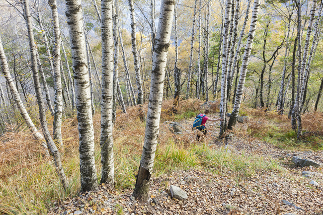 Female hiker descending through birch forest from Monte del Corgel to Corippo, Ticino Canton, Switzerland