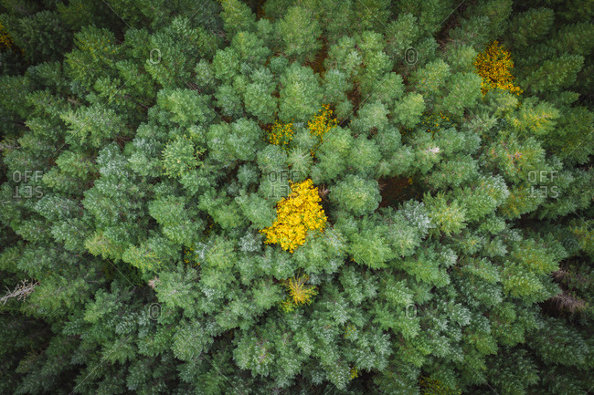 Beautiful pine trees from above